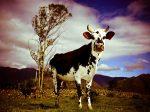 la vaca de mi tía